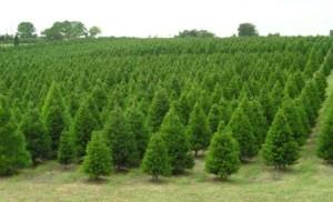 elgin-christmas-tree-farm-5212da7a4203c35daa0014ea.jpg
