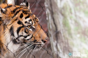 Jacksonville_Moms_Blog_Land_of_the_Tigers-31