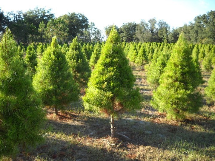 photo from gibbs christmas tree farm - Middleburg Christmas Tree Farm