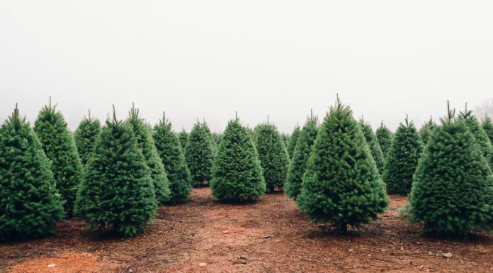 Christmas Tree Farms Jacksonville