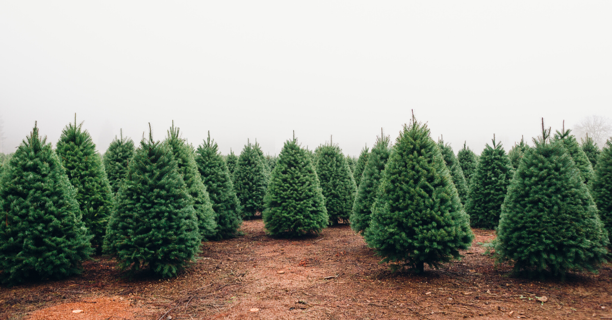 Head to the Christmas Tree Farm this Year! Tree Farms In and Around Jax